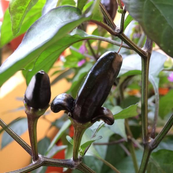 """Вот такая лилия выросла (Chili """"Pot Black"""")"""